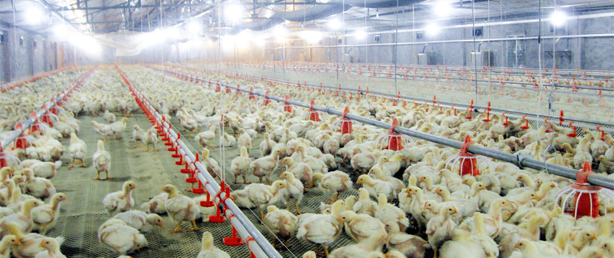 Ozone Poultry Shed Disinfection
