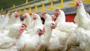 Ozone Applications in Poultry